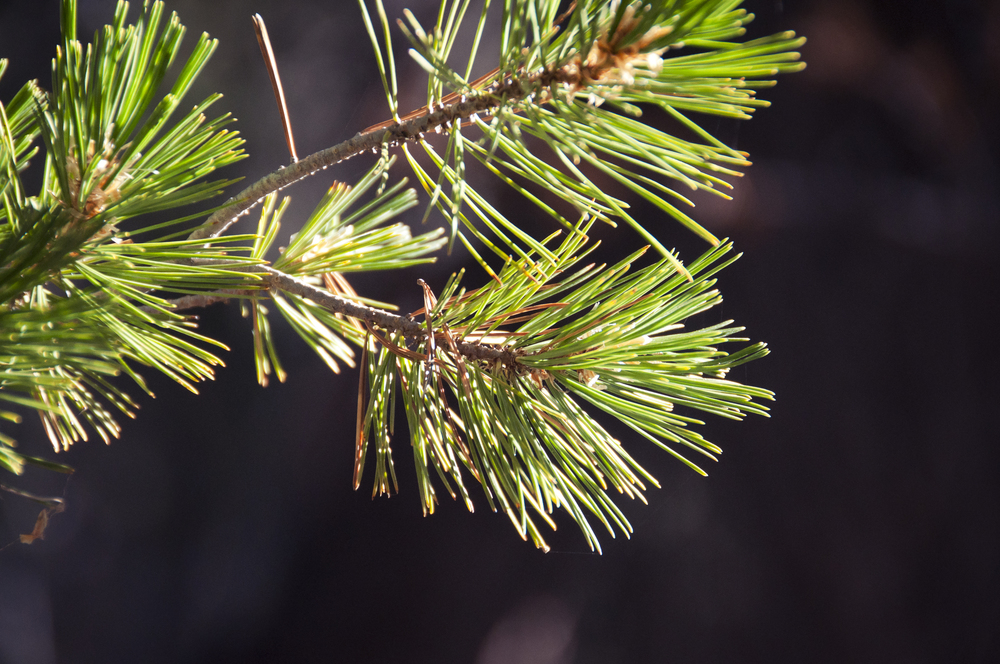 sequoia36.jpg