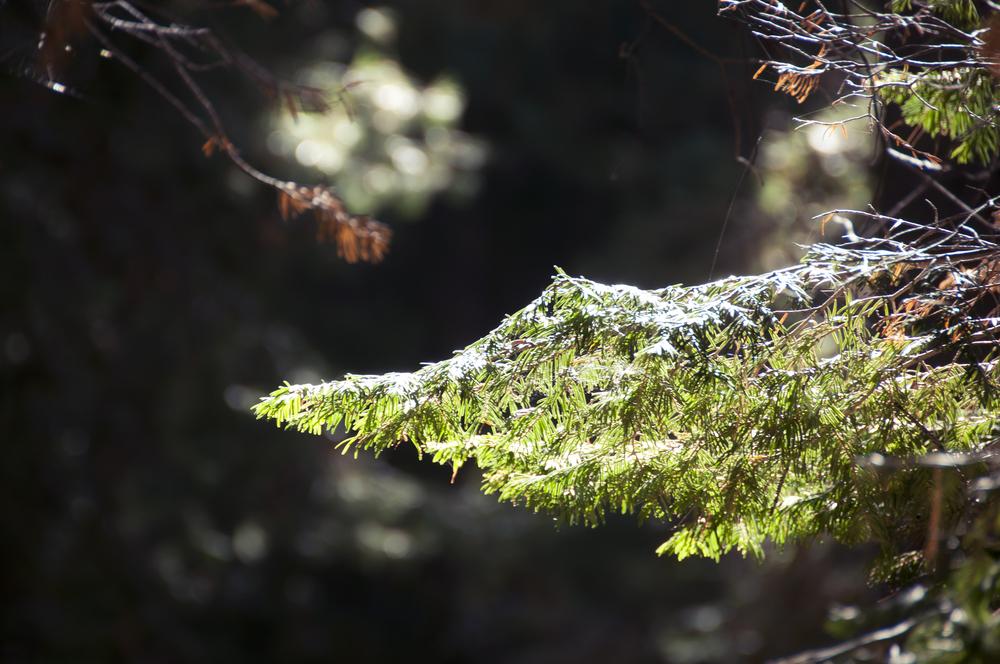 sequoia7.jpg