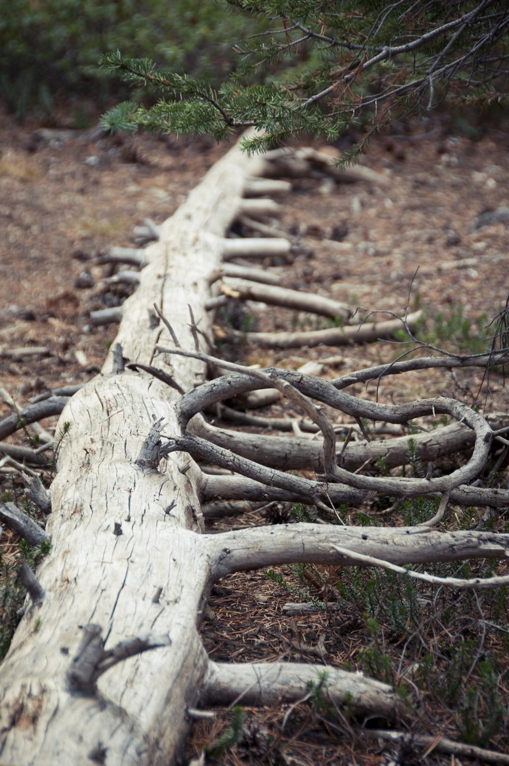 sequoia26.jpg