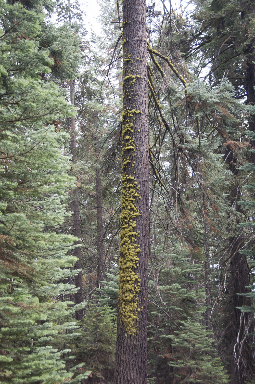 sequoia50.jpg