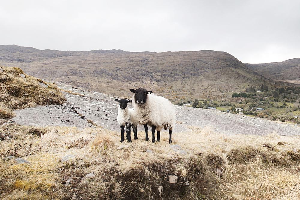 Claireonline_Barley_Lake-sheep.jpg