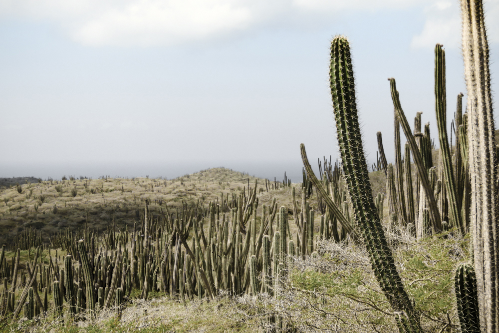 The often seen Kadushi cacti (Cereus Repandus)
