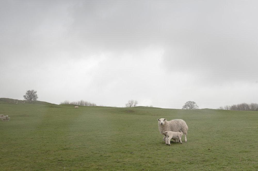 1_sheeps.jpg