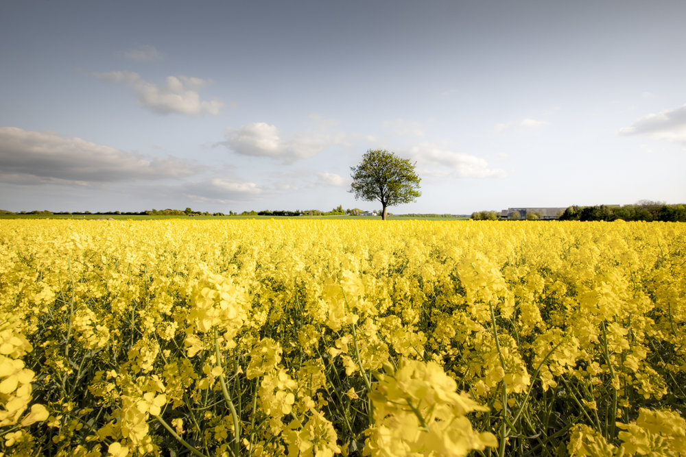 Trees rise above the yellow rapeseed fields.