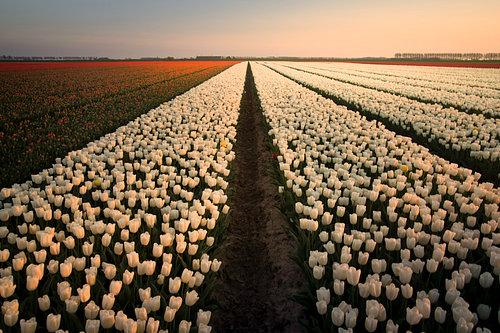 Sunset on a Dutch tulipfield
