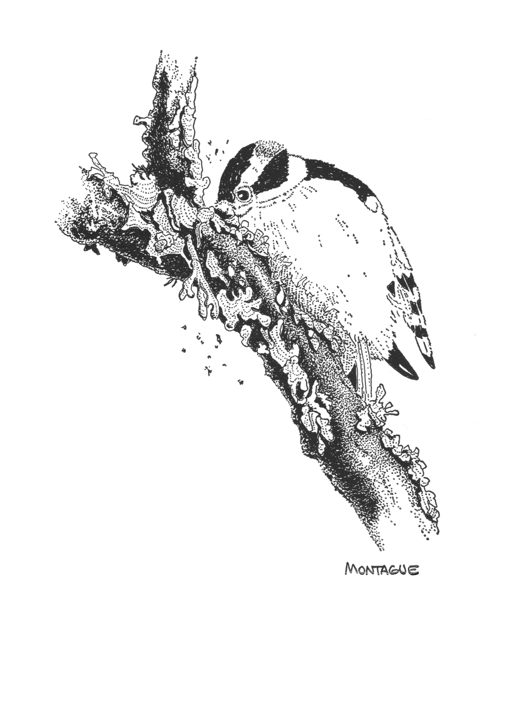 Downy Woodpecker • © Fred Montague  $50 • Letterpress Print • image 6 x 9 • matted 16 x 20  Edition size: 880 • status: available