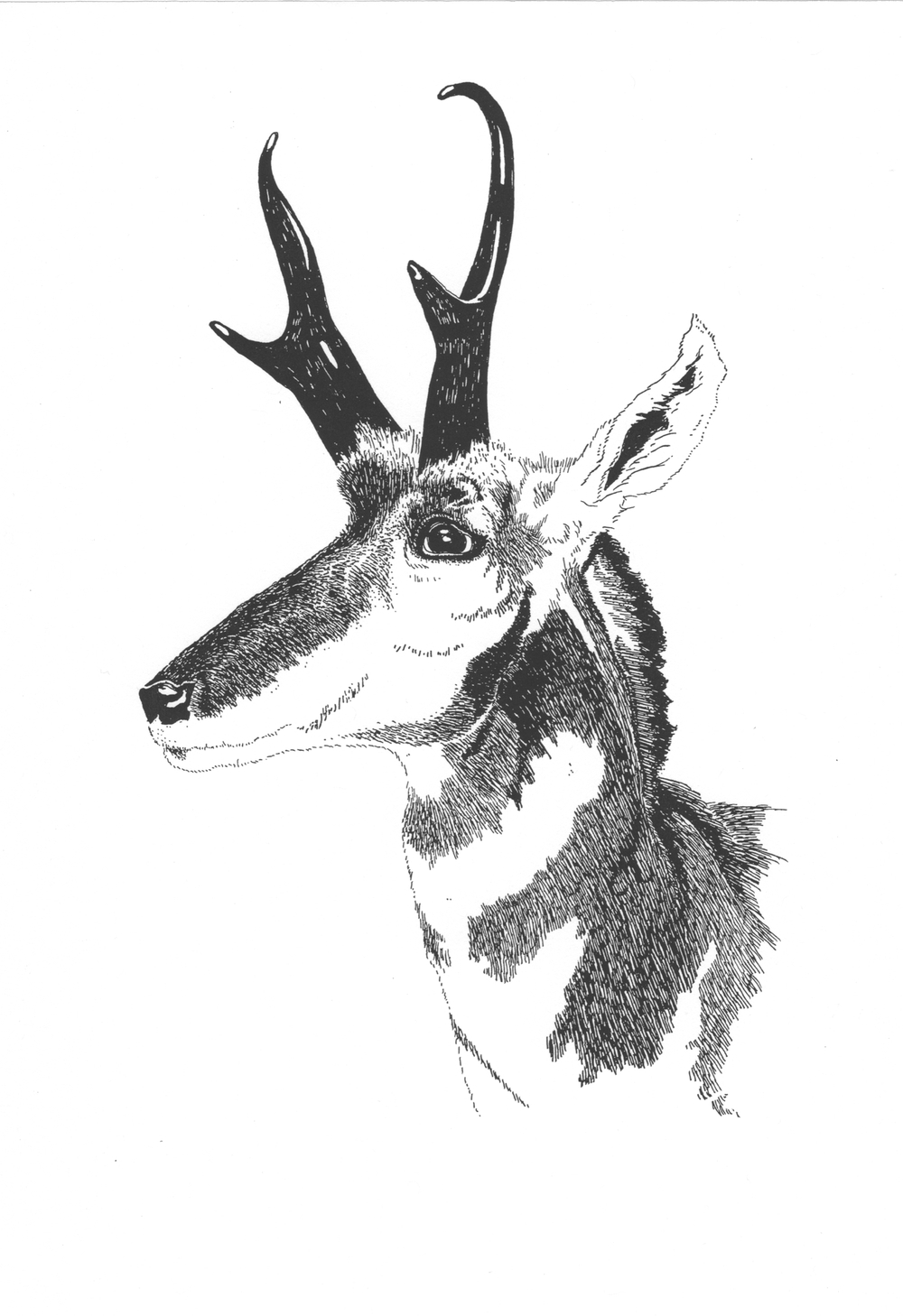 Pronghorn • © Fred Montague  $50 • Letterpress Print • image 6.5 x 9.5 • matted 16 x 20  Edition size: 880 • status: available