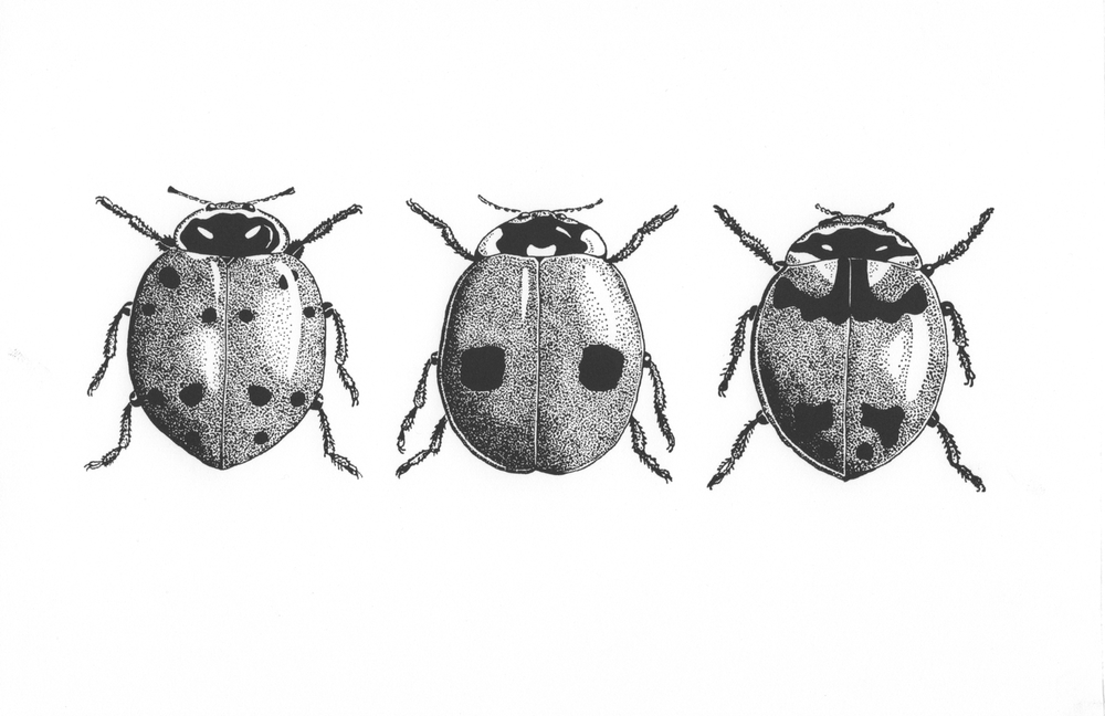 Ladybird Beetles• © Fred Montague  $40 • Letterpress Print • image 10 x 4 • matted 14 x 8  Edition size: 880 • status: available