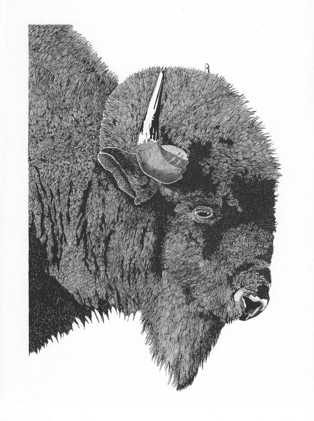 Bison Bull • © Fred Montague $2400 • Original • Image 20 x 24 • mat 28 x 30  Status: available