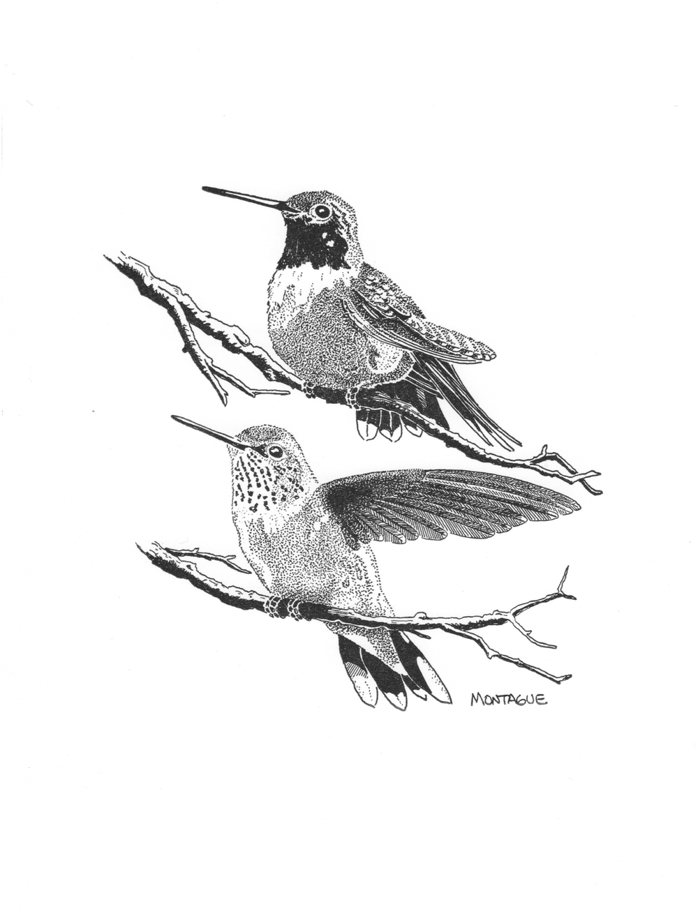 Broad-Tailed Hummingbirds • © Fred Montague  $50 • Letterpress Print • image 6 x 9 • matted 12 x 16  Edition size: 880 • status: available