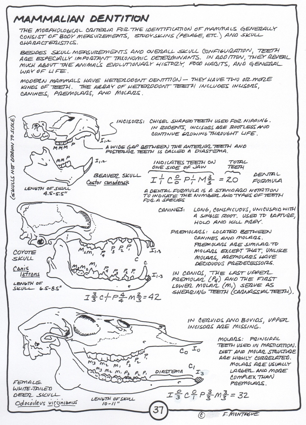 """Mammalian Dentition"", a page from Wa-Maka-Skan. © Fred Montague"