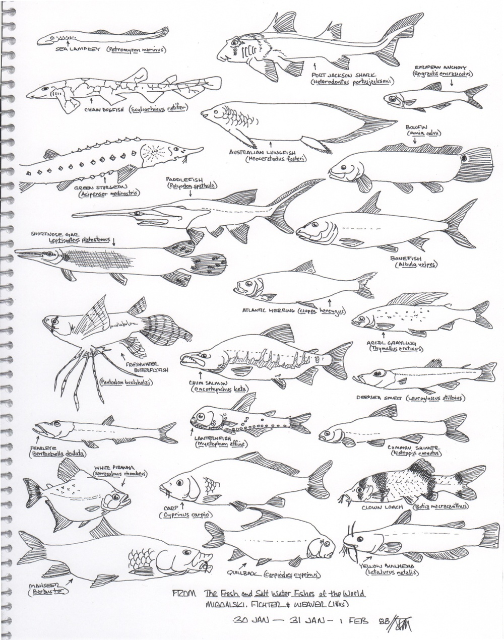 A page of fishes. © Fred Montague