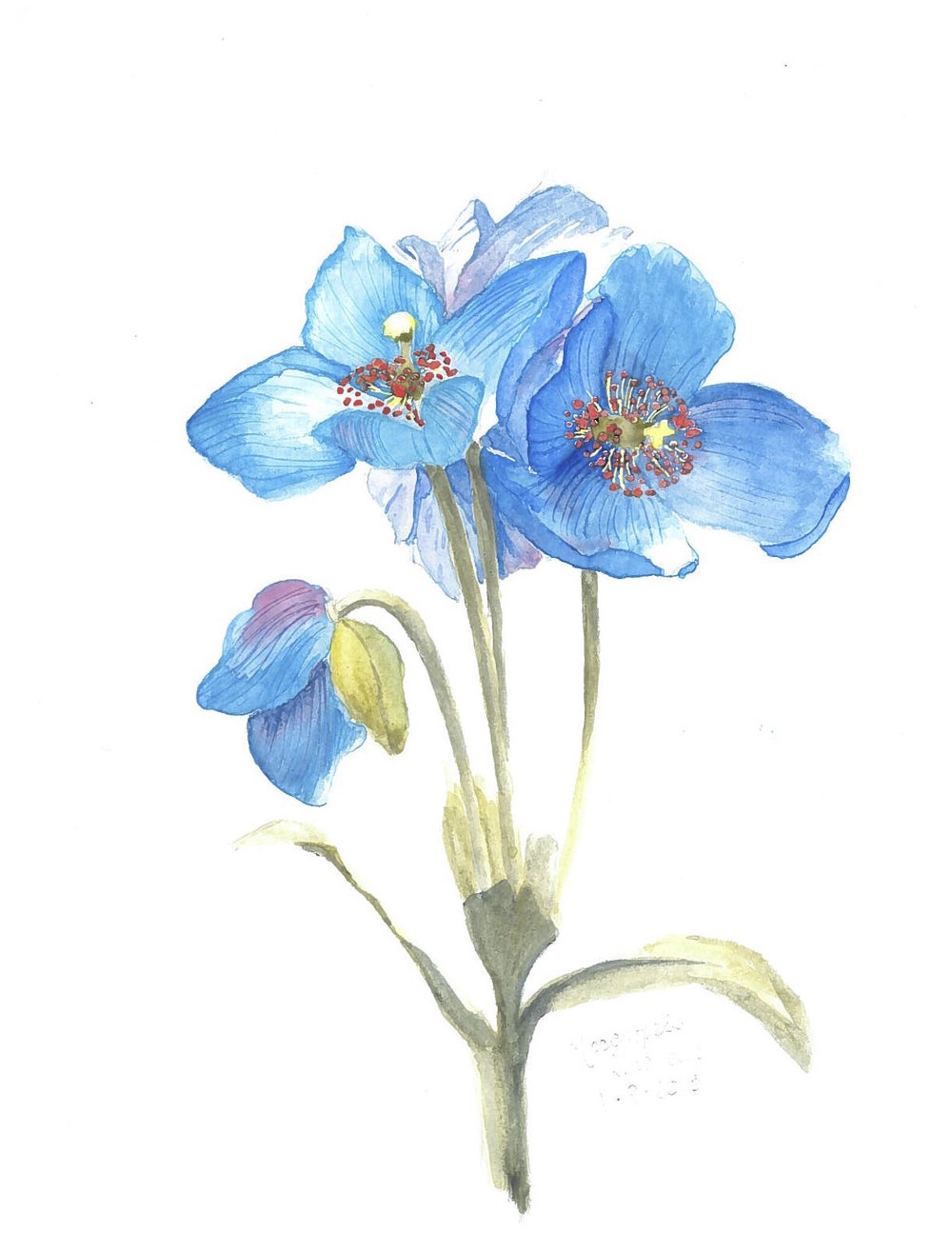 himalayan-blue-poppies-watercolor.jpg