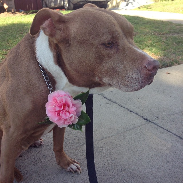 Sweet thing - Cheeba Cheeba tan bonita! 🌺 #bestpitever #cheebacheebayall #happydoggy  #welovemingo