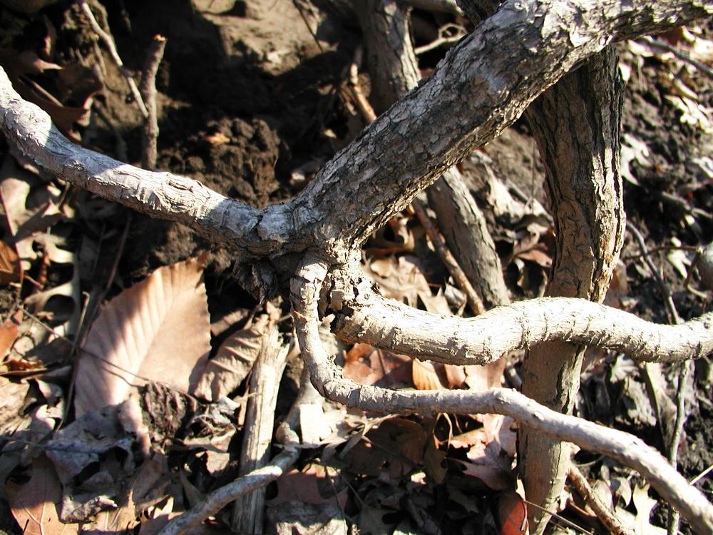 ASIATIC BITTERSWEET (CELASTRUS ORBICULATUS) Vine, Roots