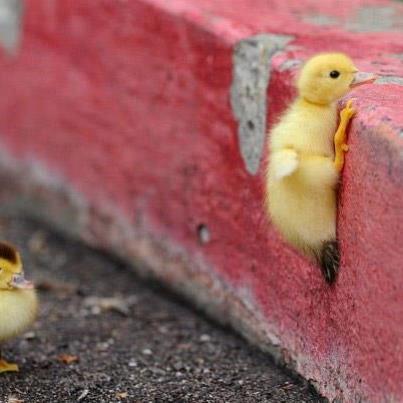 duck_climbing_wall.jpg