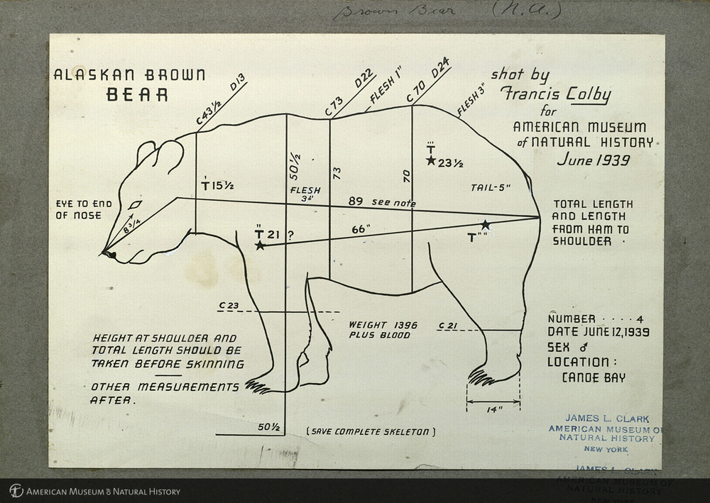 Alaska brown bear, specimen measurement chart, AMNH Digital Special Collections