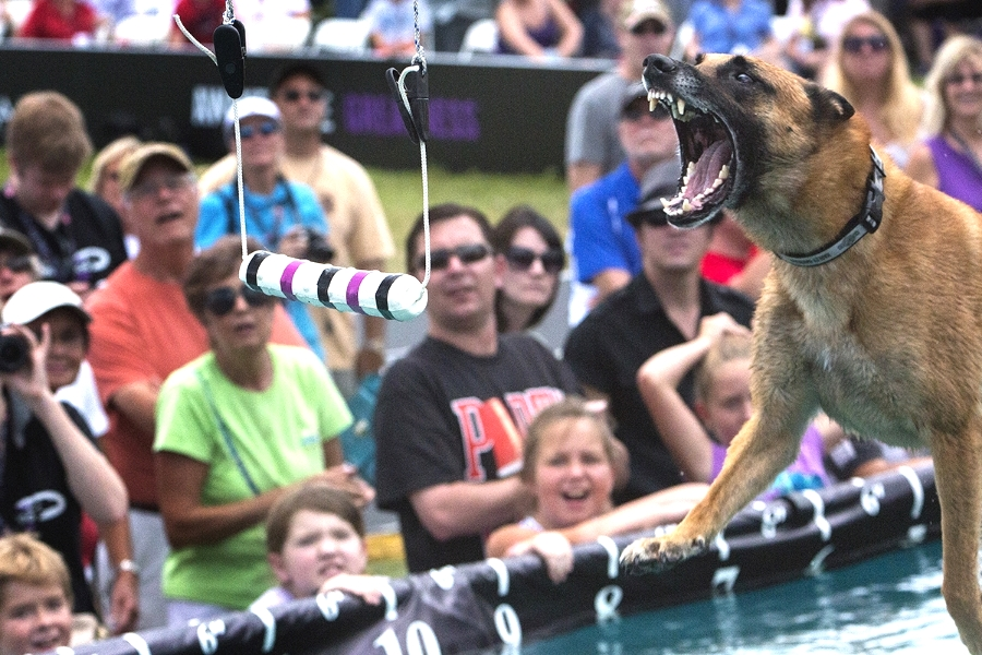 World champion dock dog Baxter, a   Belgian Malinois  trained by Tony Lambert, competes in the distance challenge at the  Purina Pro Plan Incredible Dog Challenge Eastern Regional in St Petersburg Florida