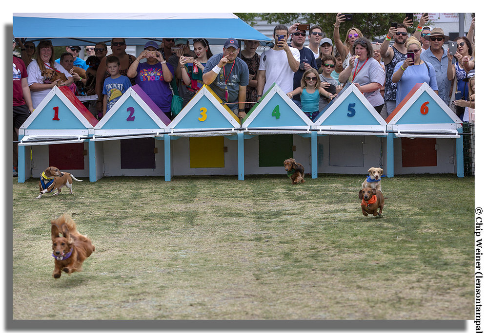 Dogs and their owners participate in the ninth annual Wiener Dog Derby at Riverfest at Curtis Hixon Park