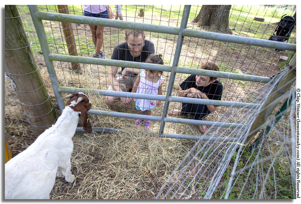 Several farm animals are at the maze, like this billy goat, for first time get-close encounters.