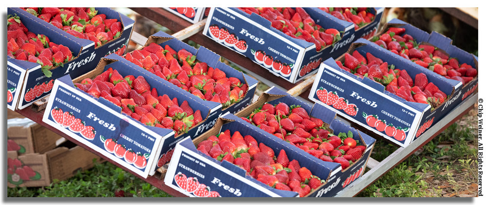 Thousands of flats of strawberries are sold each year at the annual fruit fest.