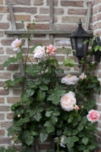 Rose Climbing Wall