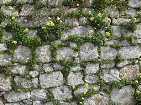 Spreading plants being used to good effect on a stone wall