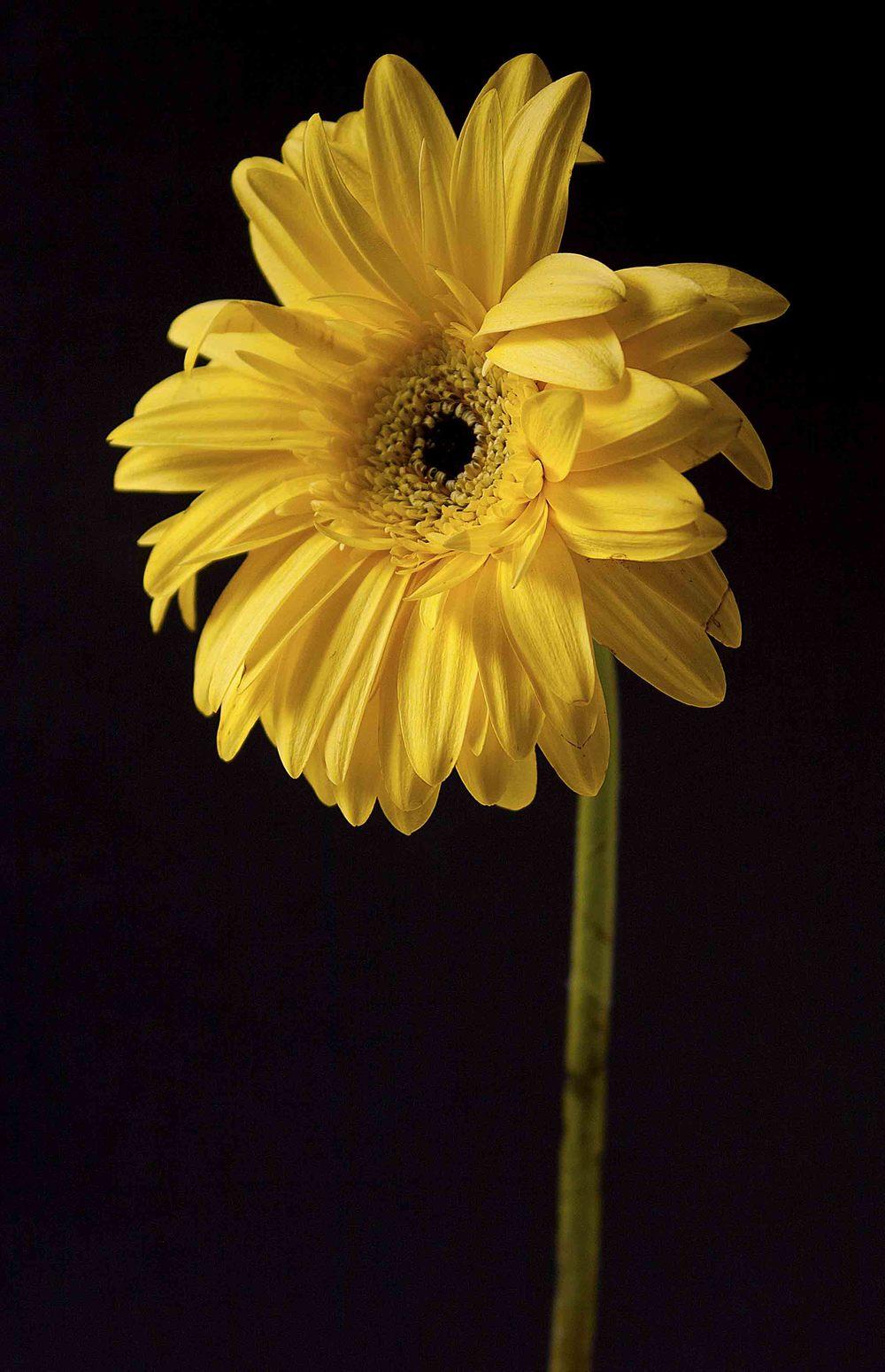 yellowdaisy_02.jpg