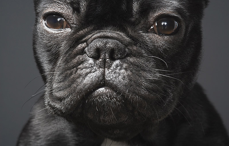 french-bulldog-by-tim-flach.jpg