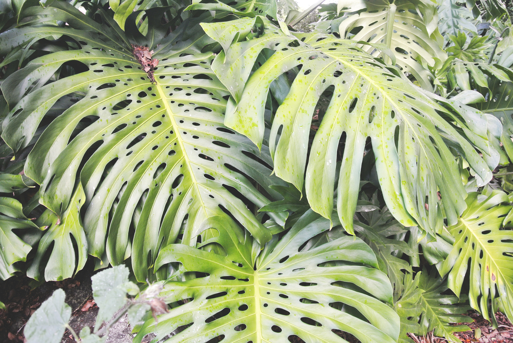 Monstera Plant Leafs