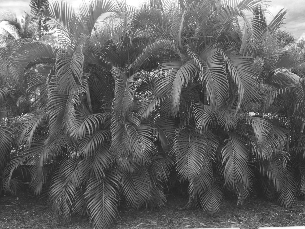 sanibelpalmtrees.jpg