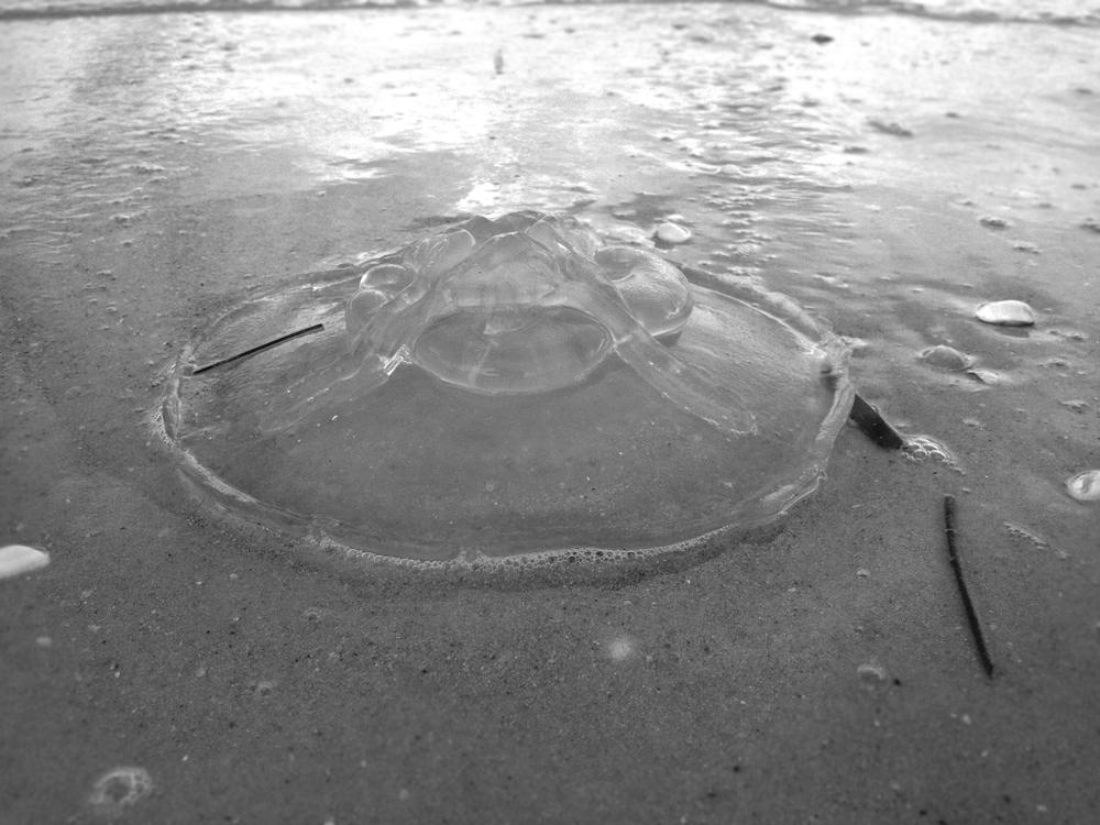 sanibeljellyfish.jpg