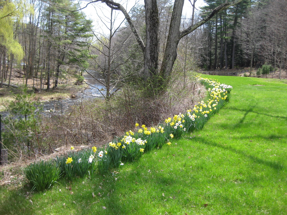 Daffodils Over the Creek