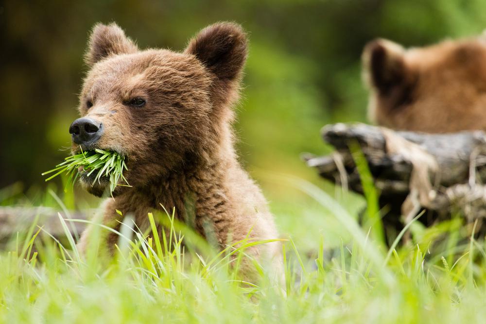 Hungry Brown Bear Cub