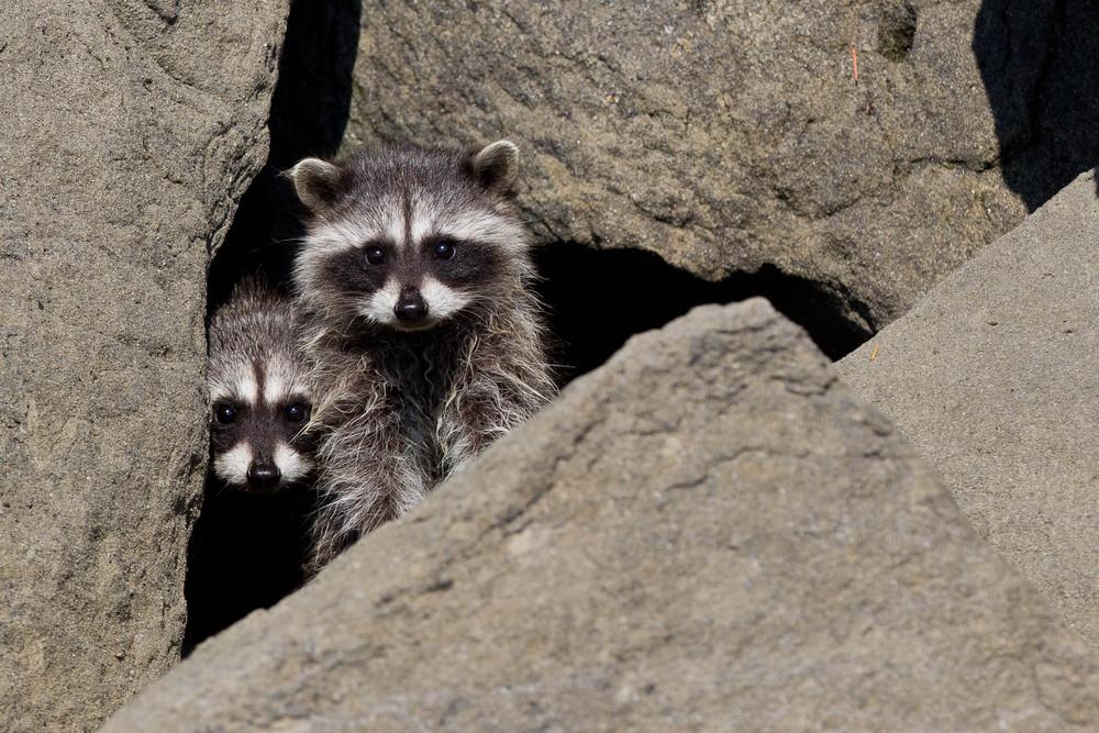 Raccoon Kits at the Shore