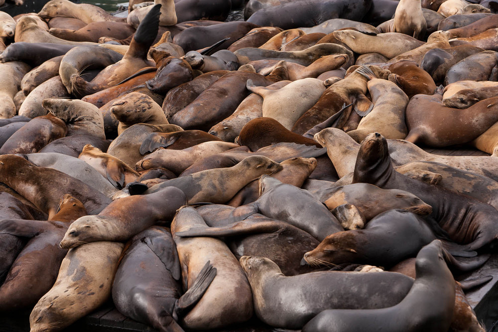 Sea Lions Relaxing