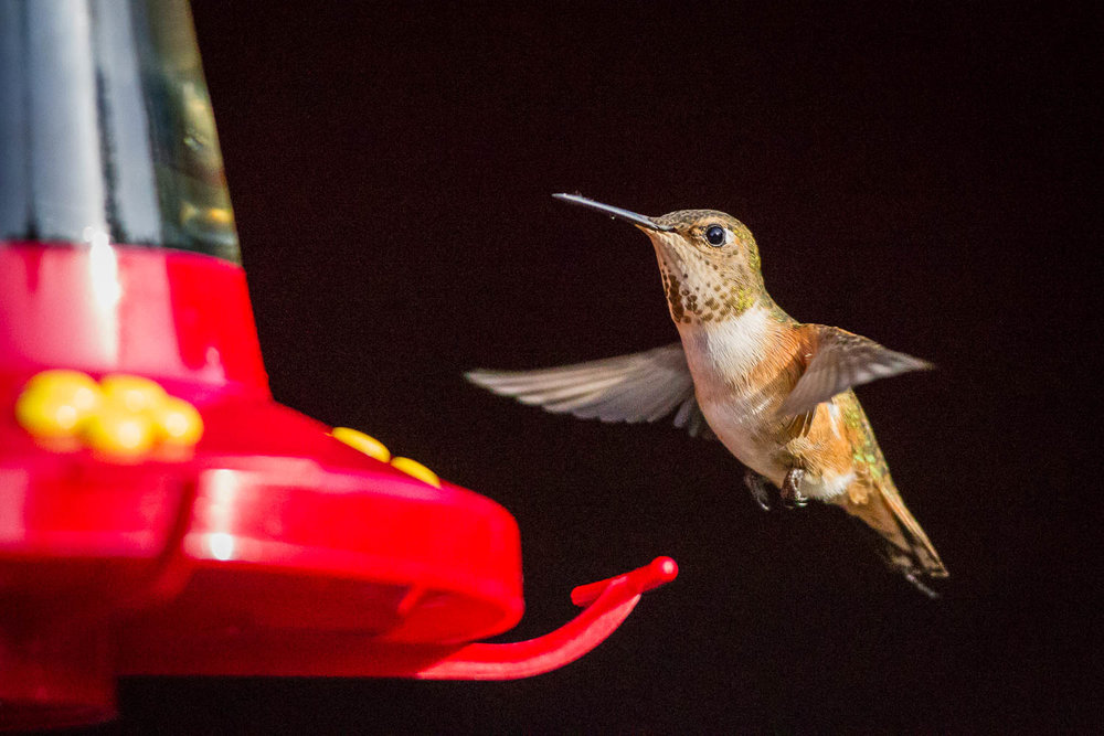 Rufous hummingbird with a twig at the backyard feeder
