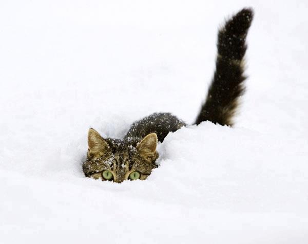 Cat Snowdrift (1354A).jpg