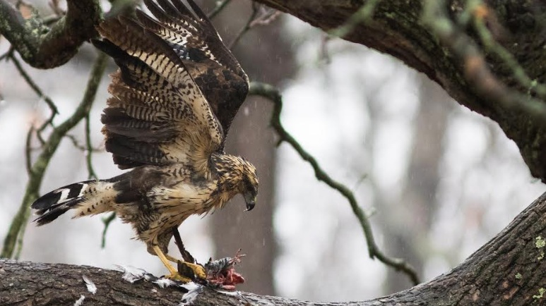 A Mexican Hawk in Maine Has Somehow Survived Two Snowstorms   |AUDUBON, December 2018|