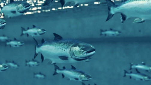 The Future of Fish Farming May Be Indoors   |SCIENTIFIC AMERICAN, September 2018|