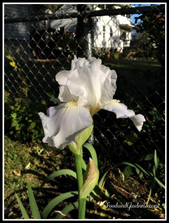 Second iris bloom in Oct 2014