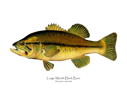 7173-largemouth-bass_e505cb0c-a4a9-4fd2-8ec5-cc0f4b367501_540x.jpg