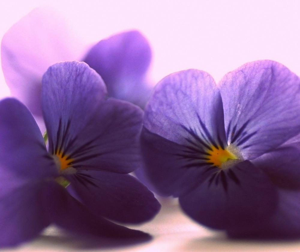 Pétalos-azules-de-la-viola-Flores-Close-Up-1920x2560.jpg