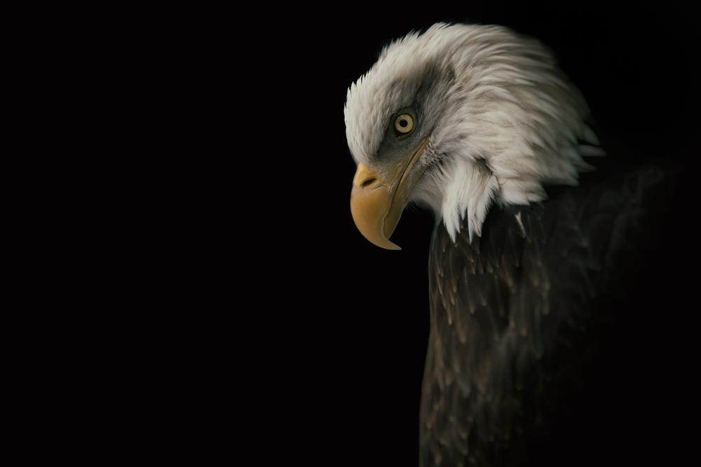 Bald Eagle II. 2015