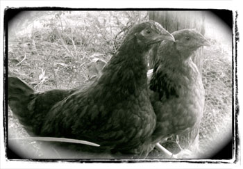 The chooks - Anna - Frid and Agnetha