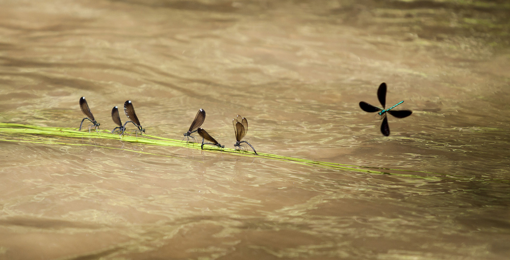 dragon flies in a stream.