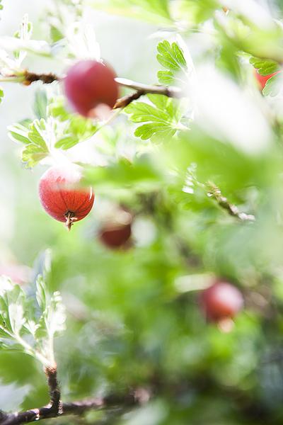 gooseberry_9582.jpg