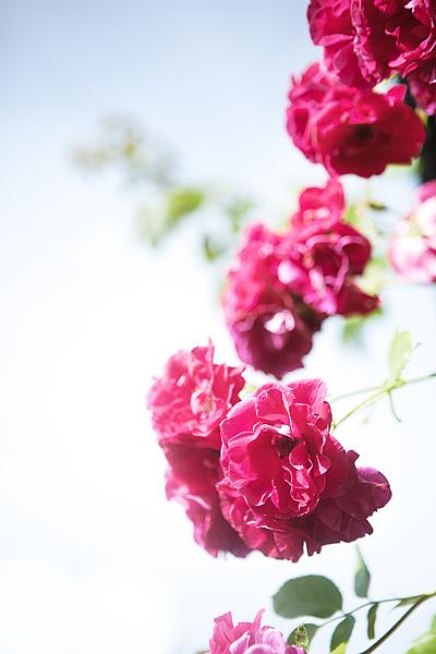 rosor_9620.jpg