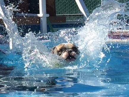 U-mi, FRENCH BULL DOG, LOVES SWIMMING (FOR EXERCISE)
