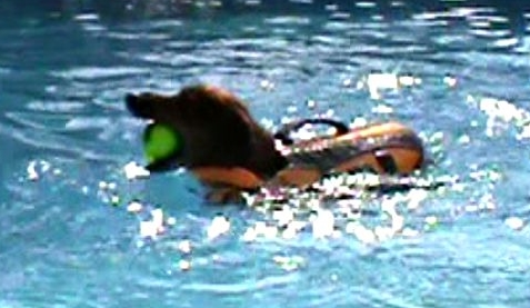 Hydrotherapy for dogs, swim therapy for dogs